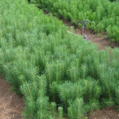 Seedlings & Transplants - Peterson's Riverview Nursery, LLC Seedlings & Transplants